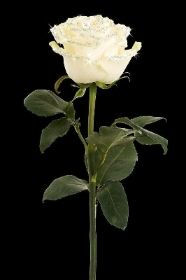 Single long stemmed rose for funeral placement